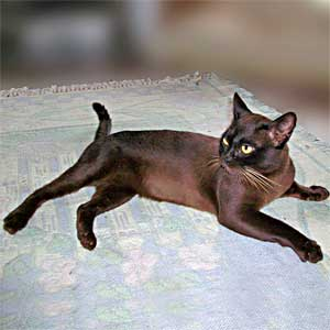 Brown Burmese Stud