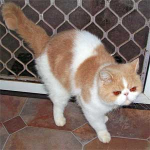 Exotic Shorthair Cat For Sale Qld