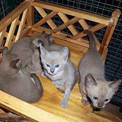 Tonkinese kittens - their